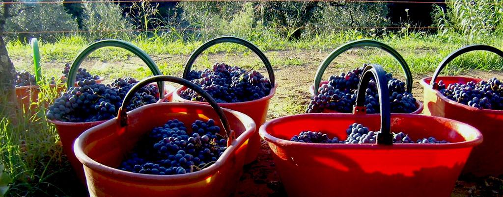 Tuscany grapes